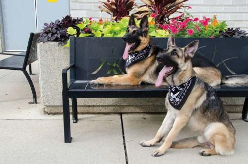 German Shepherd guard dog