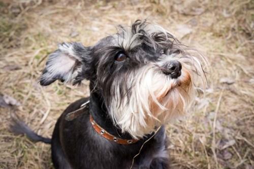 Schnauzer guard dog