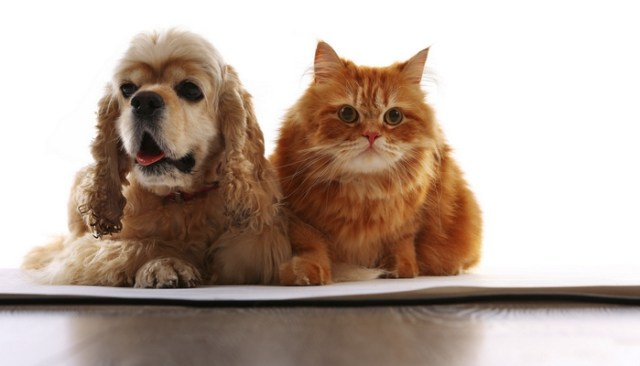 Spaniels are some of the Best Dogs for Cats