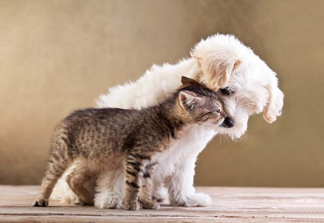 Bichon Frise together with cat