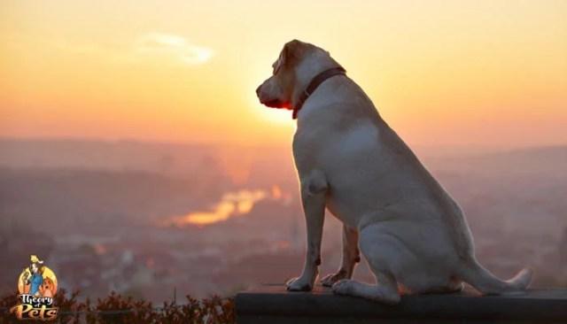 T-Cyte and Canine Osteoarthritis Treatment