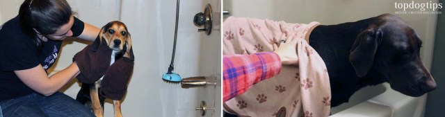 How to Properly Towel Dry a Dog after Bath