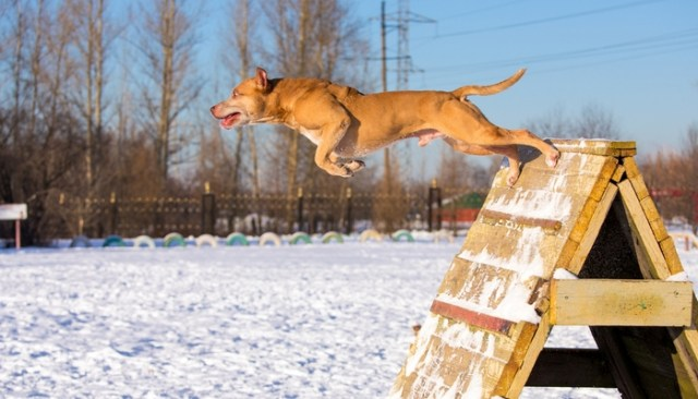 The Importance of Stamina for Pit Bulls