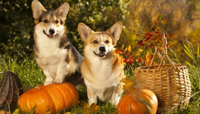 Thanksgiving and Dogs