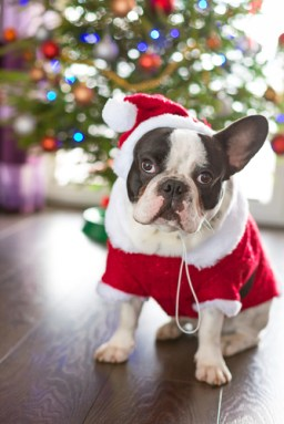 Christmas with Dogs