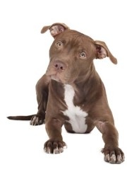 How to pick the best dog food for pit bulls for muscle gaining