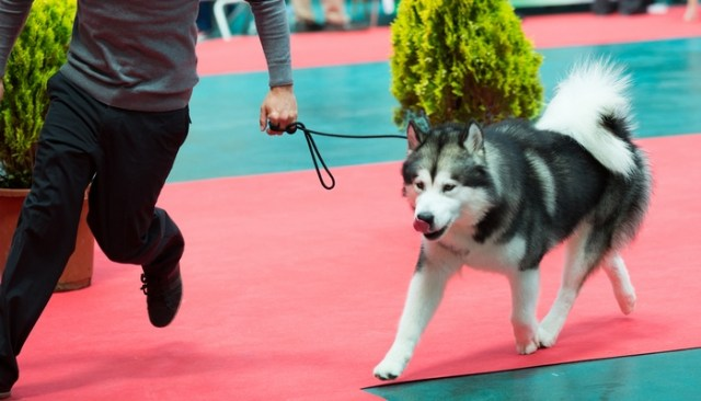 How to Turn Your Dog Into a Show Dog