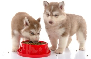 best dog food for husky puppies