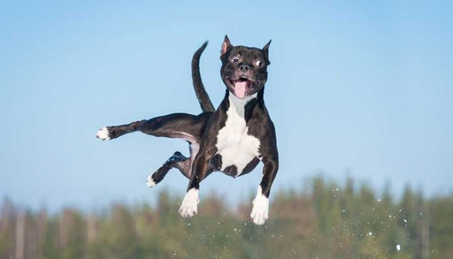 Hilarious pit bull jumping up in the air