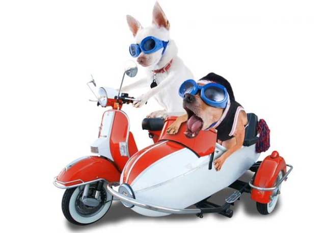 Two funny dogs riding a motorcycle