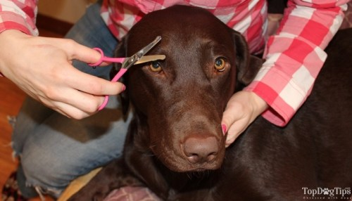 How to Trim Your Dog's Face Hair with Scissors