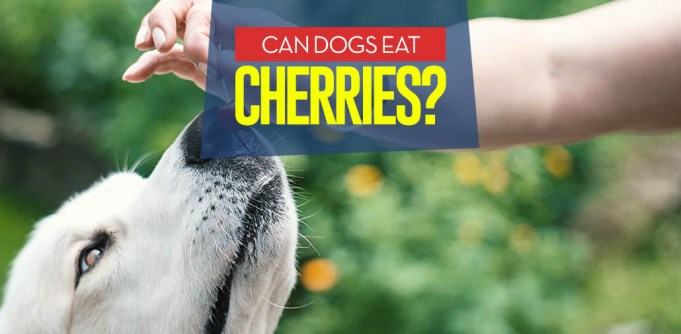 Can I give my dog cherries