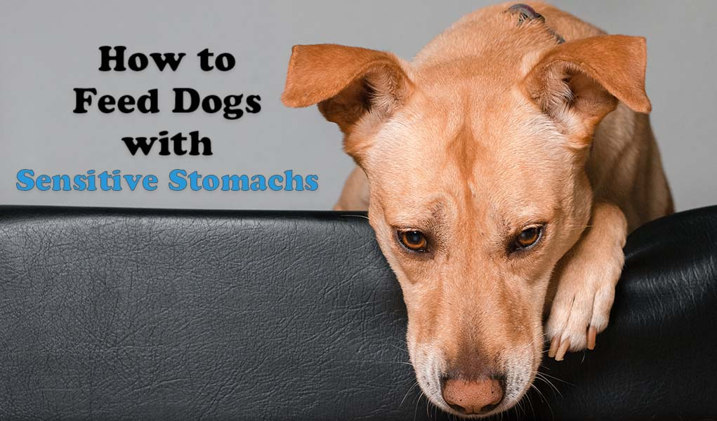 9 Tips On How To Feed Dogs With Sensitive Stomachs And