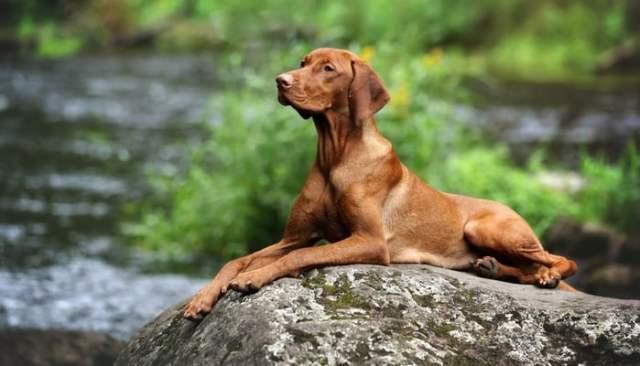 Vizsla as the Best short hair dog breeds