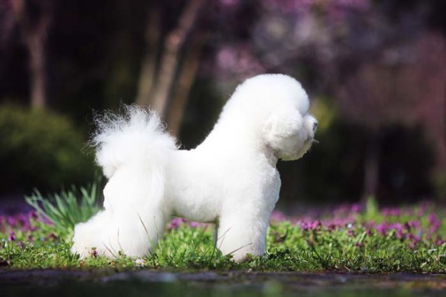 Bichon Frise Expensive Dog Breed