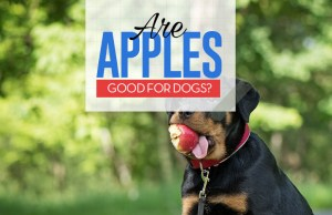 Can Dogs Eat Apples - 8 Potential Benefits and 3 Precautions