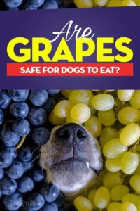 Can Dogs Eat Grapes - Grape Toxicosis and Dangers Explained