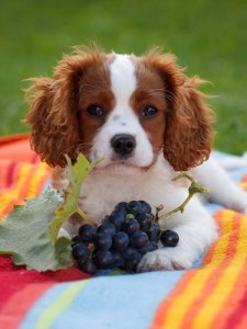 Can I give my dog grapes
