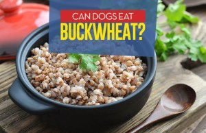 Can Our Dogs Eat Buckwheat