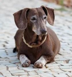 Dachshund Dog Breed Lifespan