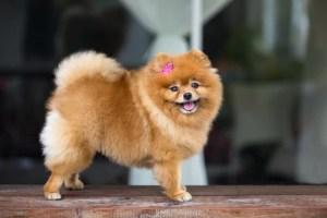 Pomeranian Dog Breed Lifespan