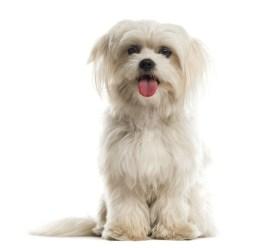 Maltese Dog Breed Lifespan