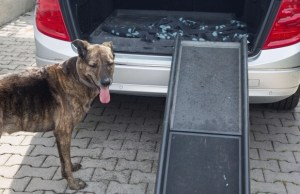 How To Help A Dog Get Into A Vehicle