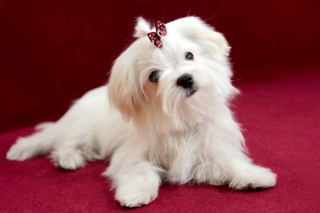 Maltese Most Expensive Dog Breeds