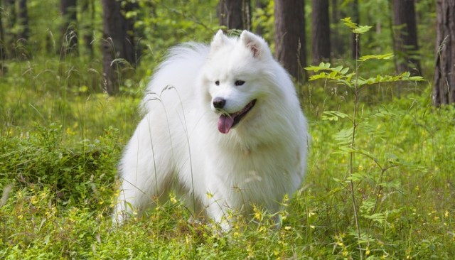 Samoyed as the Most Expensive Dog Breeds