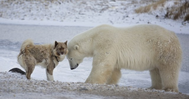 Canadian Eskimo Dog as the Most Expensive Dog Breeds