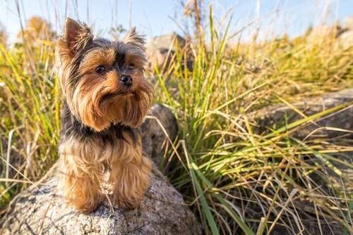Yorkshire Terrier as the Most Expensive Dog Breeds
