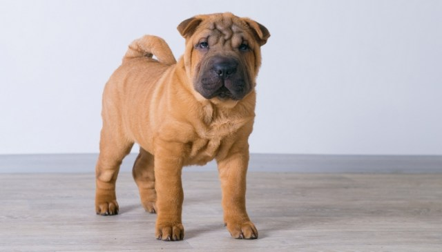 Shar Pei as the Most Stubborn Dog Breeds