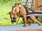Science-based Canine Athlete Nutrition - How to Feed Athletic Dogs