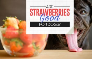 Strawberries for Dogs 101