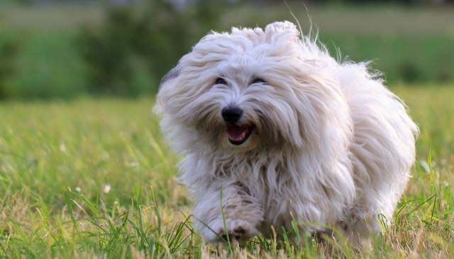 Coton De Tulear as the best toy dog breeds