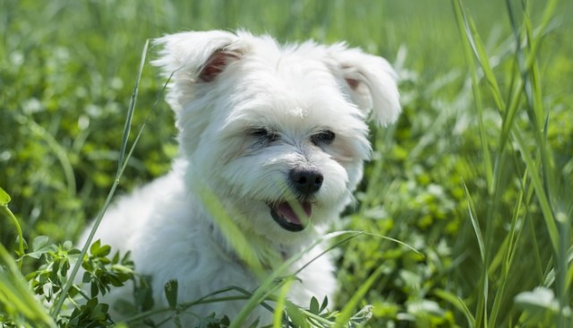 Bichon Frise as the best toy dog breeds