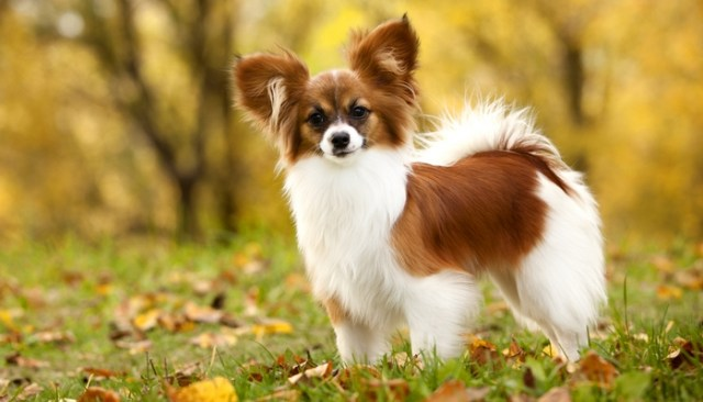 Papillon as the best toy dog breeds