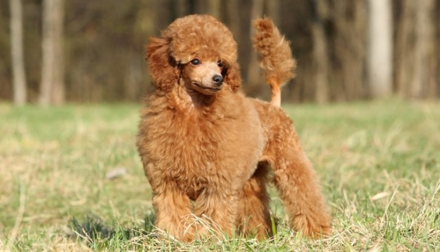 Toy Poodle as the best toy dog breeds