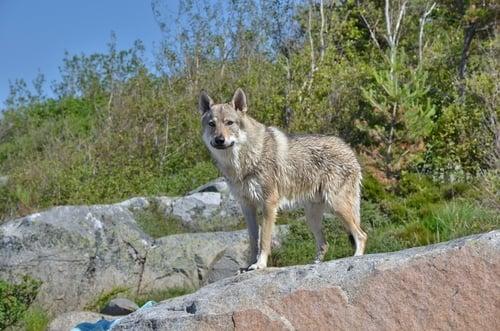 Czechoslovakian Vlcak is one of the most dangerous dogs