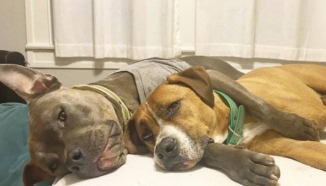 Rescued Pit Bull Spends Life Helping Dogs in Need