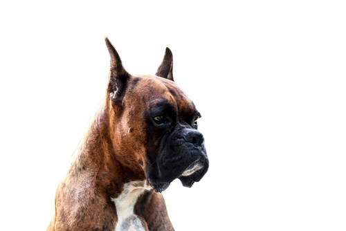 Boxer as the most aggressive dog breeds