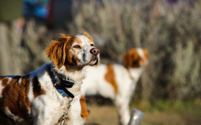 Brittany Spaniel is one of the healthiest dog breeds