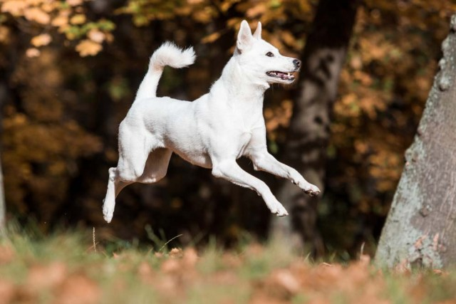 Canaan Dog is one of the healthiest dog breeds