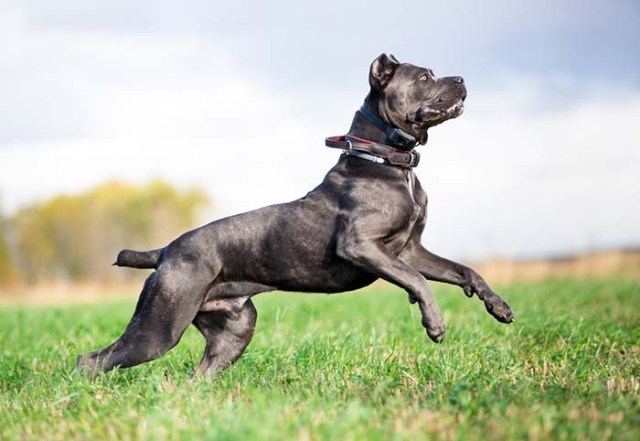 Cane Corso is one of the most popular fighting dog breeds