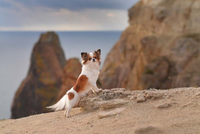Chihuahua is one of the healthiest dog breeds