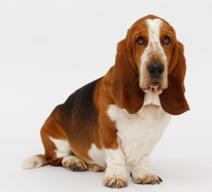 Basset Hounds are one of the most expensive dog breeds