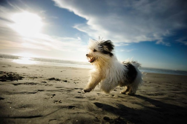 Havanese is one of the healthiest dog breeds