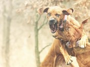 Most Popular Fighting Dog Breeds