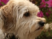 Schnoodle Dog Breed