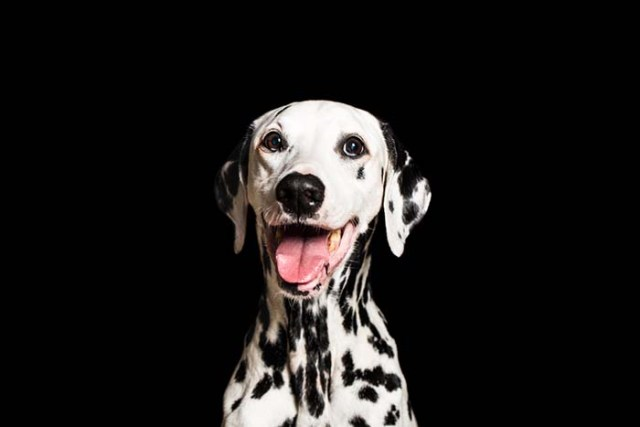 Science Uncovers the Gene Responsible for Dalmatian Disease ARDS